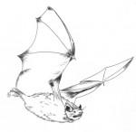 Pipistrelle