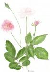 Rose - Aquarelle - Juin 2013
