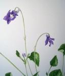 Violettes (détail) - Aquarelle - Avril 2015