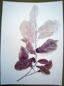 Croquis Prunus - Aquarelle - Juillet 2015