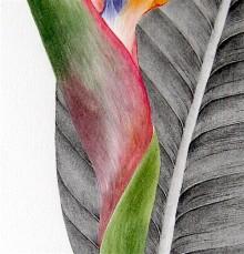 Oiseau de paradis détail - Aquarelle et graphite - Juin 2016