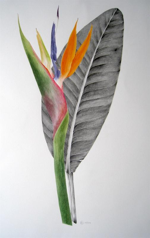 Oiseau de paradis - Aquarelle et graphite - Juin 2016