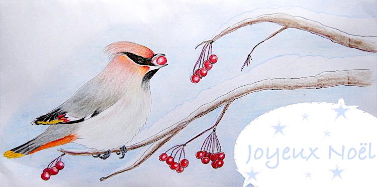 Jaseur boréal - Crayons de couleur - Décembre 2016